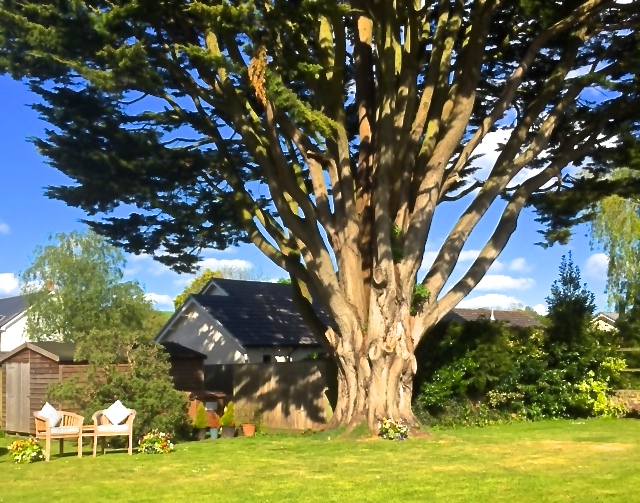 The tree at the White Cottage B&B, Colyton