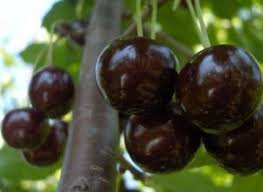 Black Sour Cherries